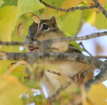 An eastern chipmunk at Tower Hill Botanic Garden in Boylston, photographed by Steve Forman.