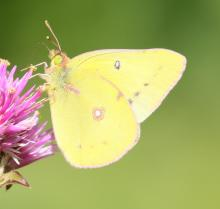 A clouded sulphur butterfly at Tower Hill Botanic Garden in Boylston, photographed by Steve Forman.