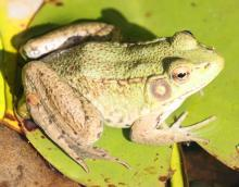A green frog at Tower Hill Botanic Garden in Boylston, photographed by Steve Forman.
