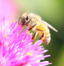 A honey bee at Tower Hill Botanic Garden in Boylston, photographed by Steve Forman.