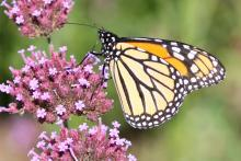 A monarch butterfly at Tower Hill Botanic Garden in Boylston, photographed by Steve Forman.