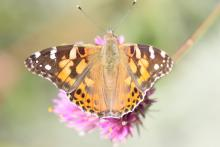 A painted lady butterfly at Tower Hill Botanic Garden in Boylston, photographed by Steve Forman.
