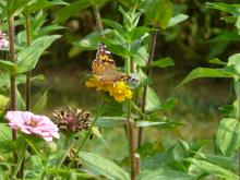 A painted lady butterfly at Hutchins Farm in Concord, photographed by Rochelle Steinberg.