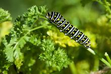 A black swallowtail caterpillar in Sudbury, photographed by Dawn Dentzer.