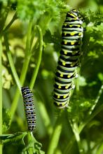 Black swallowtail caterpillars in Sudbury, photographed by Dawn Dentzer.