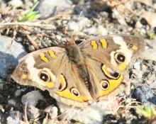 A common buckeye butterfly at Breakneck Hill Conservation Land in Southborough, photographed by Steve Forman.
