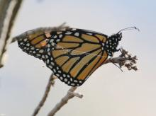 A monarch butterfly at Hager Pond in Marlborough, photographed by Steve Forman.
