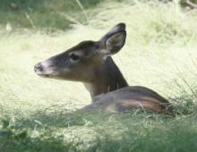 A white-tailed deer at Drumlin Farm in Lincoln, photographed by Steve Forman.