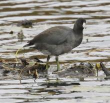 An American coot at Farm Pond in Framingham, photographed by Steve Forman.