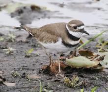 A killdeer at Farm Pond in Framingham, photographed by Steve Forman.