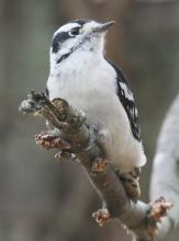 A downy woodpecker at Hager Pond in Marlborough, photographed by Steve Forman.