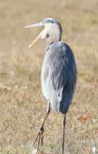 A great bluer heron at Chauncy Lake in Westborough, photographed by Steve Forman.