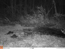 River otters in Harvard, photographed with an automatically triggered wildlife camera by Steve Cumming.