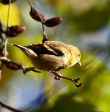 An American goldfinch at Assabet River National Wildlife Refuge in Sudbury, photographed by Dan Trippe.