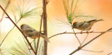 Golden-crowned kinglets at Assabet River National Wildlife Refuge in Sudbury, photographed by Dan Trippe.