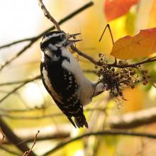 A hairy woodpecker at Assabet River National Wildlife Refuge in Sudbury, photographed by Dan Trippe.
