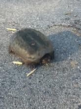A snapping turtle in Grafton, photographed by Matt Donovan.