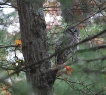 A barred owl at SVT's Upper Mill Brook Conservation Area in Wayland, photographed by Carole Hohl.