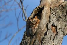 An eastern screech owl in Wayland, photographed by Russ Place.