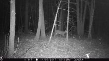 A white-tailed deer in Berlin, photographed with an automatically triggered wildlife camera by Paul Bakstran.