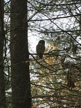 A barred owl at SVT's Doyle Conservation Restriction in Bedford, photographed by Karin Paquin.