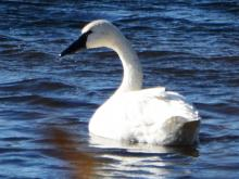 A tundra swan on Farrar Pond in Lincoln, photographed by Ron McAdow.