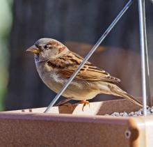 A house sparrow in Framingham, photographed by Joan Chasan.