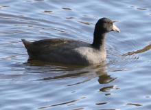 An American coot at Hager Pond in Marlborough, photographed by Steve Forman.