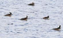 Hooded mergansers at Foss Reservoir in Framingham, photographed by Steve Forman.