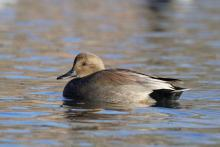 A gadwall at Hager Pond in Marlborough, photographed by Sue Feldberg.