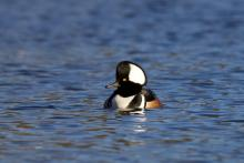 A hooded merganser at Hager Pond in Marlborough, photographed by Sue Feldberg.