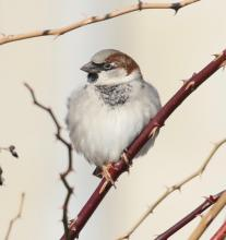 A male house sparrow at Breakneck Hill Conservation Land in Southborough, photographed by Steve Forman.