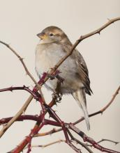 A female house sparrow at Breakneck Hill Conservation Land in Southborough, photographed by Steve Forman.