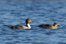A pair of northern pintails at Hager Pond in Marlborough, photographed by Sue Feldberg.