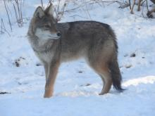 A coyote in Sudbury, photographed by John McCormack.