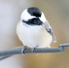 A black-capped chickadee in Framingham, photographed by Steve Forman.
