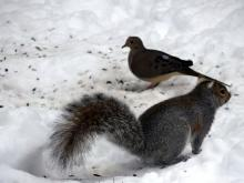 A gray squirrel and a mourning dove in Lincoln, photographed by Harold McAleer.