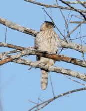 A Cooper's hawk at Breakneck Hill Conservation Land in Southborough, photographed by Steve Forman.