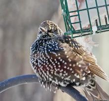 A European starling in Framingham, photographed by Joan Chasan.
