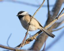 A black-capped chickadee at Assabet River National Wildlife Refuge in Sudbury, photographed by Dan Trippe.
