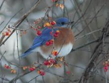 An eastern bluebird at Assabet River National Wildlife Refuge in Sudbury, photographed by Dan Trippe.