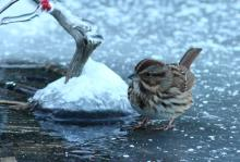 A song sparrow at Assabet River National Wildlife Refuge in Sudbury, photographed by Dan Trippe.