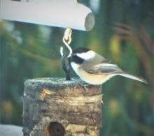 A black-capped chickadee in Harvard, photographed by Robin Right.