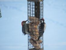 A red-bellied woodpecker (left) and a hairy woodpecker (right) in Stow.