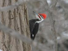 A pileated woodpecker in Lincoln, photographed by Ron McAdow.