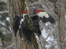 Pileated woodpeckers in Lincoln, photographed by Ron McAdow.