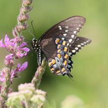 A spicebush swallowtail butterfly at Breakneck Hill Conservation Land in Southborough, photographed by Steve Forman.