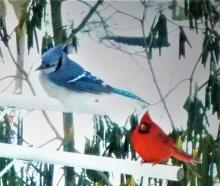 A blue jay and a northern cardinal in Harvard, photographed by Robin Right.