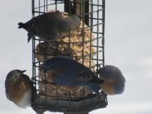 Eastern bluebirds in Stow.