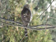 A Cooper's hawk in Stow.